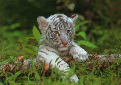 Animaux en voie de disparition blog de durgha 31 - Photo de tigre blanc a imprimer ...